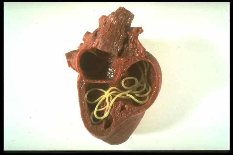 Srčani crv